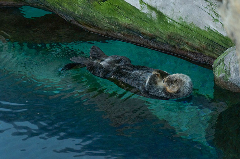 Oceanarium - loutre
