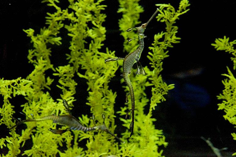 Oceanarium - hippocampes