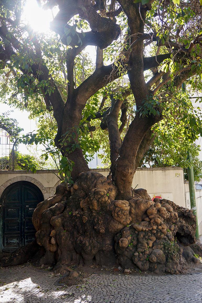 Un arbre biscornu qui a grandi malgré les pavés